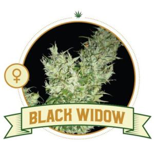 Black Widow Feminized