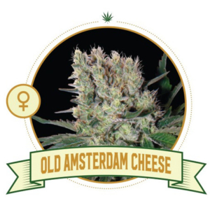Old Amsterdam Cheese Feminized