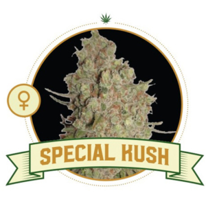 Special Kush Feminized