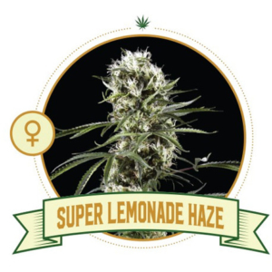 Super Lemonade Haze FeminizedSuper Lemonade Haze Feminized